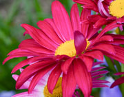 Unbelievable pink Painted Daisy