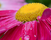 Raindrops on Painted Daisy