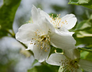 Fragrant Mock Orange blossoms