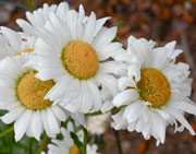 A trio of Shasta Daisies