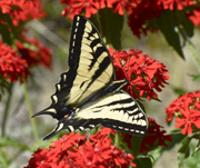 Tiger Swallowtail Butterfly on Maltese Cross