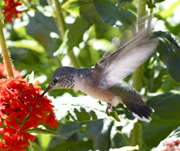 Hummingbird at Maltese Cross