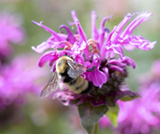Angel Wings - Silver winged bumblebee on Monarda