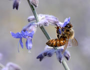 Honeybee on Russian Sage