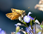 Moth on Lobelia