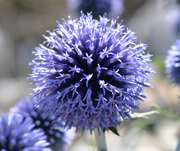 Echinops spikes turned to blossoms