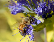 Honeybee feeding on Blue Mist Shrub