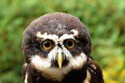 Spectacled Owl at the Raptor Center in Duncan, BC