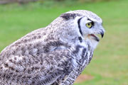 Great Horned Owl at the Raptor Center in Duncan, BC