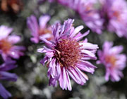 Fading Fall Aster