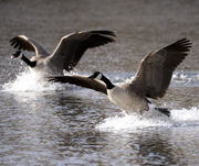 Canada Geese landing gracefully on Cool's Pond