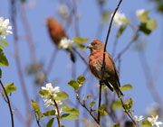 Red Crossbills in spring Saskatoonberry tree