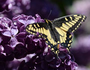 Butterfly on Lilac tree