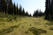 Meadow amidst the larches at the summit of Mt. Revelstoke, BC