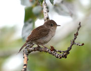Little brown Wren