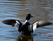 Barrow's Goldeneye Duck stretching out his wings