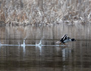 Sputtering takeoff of Barrow's Goldeneye Duck