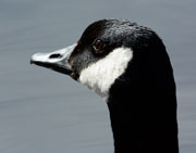 Closeup up of Canada Goose looking alert