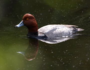 Redhead duck on green Cool's Pond